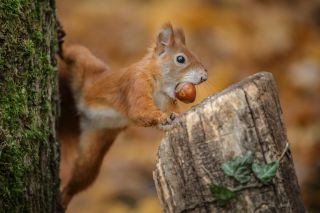 Squirrel stealing a nut.