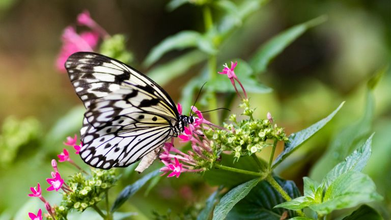 how to grow a butterfly garden: tree nymph butterfly on pink flower