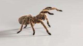 A Chilean rose tarantula (Grammostola rosea) strikes a threatening pose.