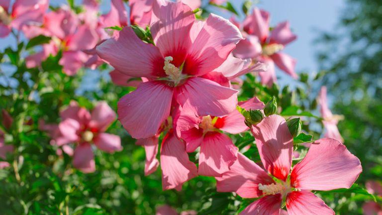 pink hibiscus flowers growing