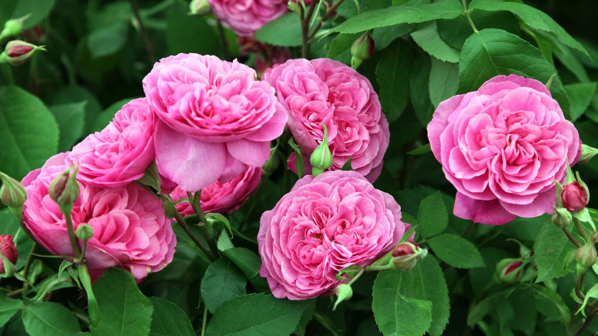 Get rose pruning right with Monty Don's advice
