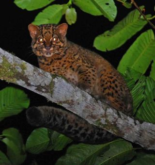 marbled cat, borneo, wild cats