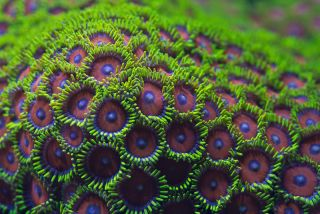 A zoanthid coral