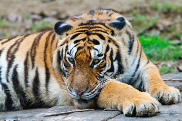 Iconic Cats: All 9 Subspecies of Tigers | Live Science