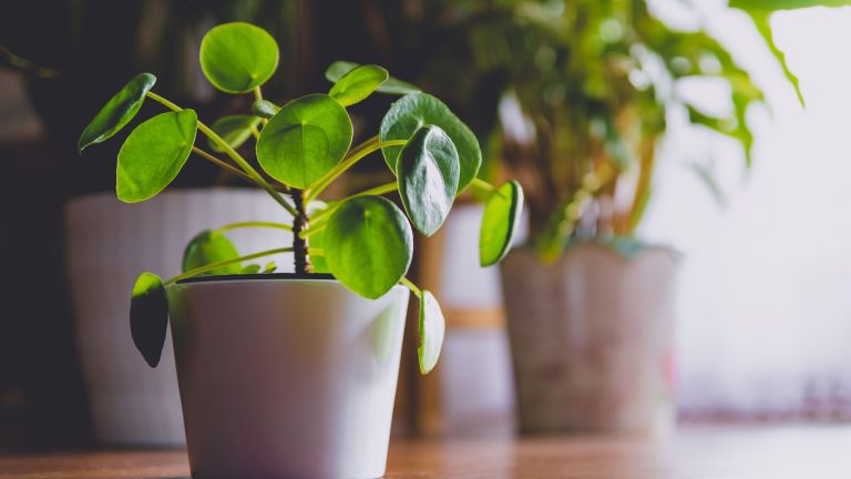 Pilea Peperomioides, known as the Pilea or Chinese money plant