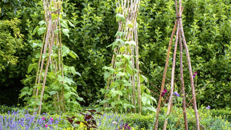 runner beans growing up wooden canes in a vegetable garden