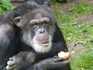 chimp with apple