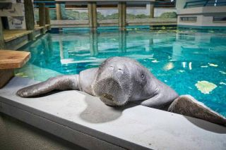 Snooty was certified by Guinness World Records as the world's oldest manatee in captivity.