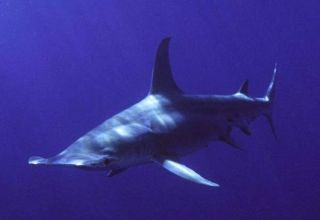 A great hammerhead shark.