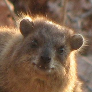 A slightly evil looking rock hyrax.