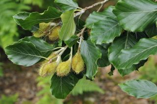 Researchers found that three of the trees they examined, including the European beech (<i>Fagus sylvatica</i>, shown here) budded earlier the lighter it was.