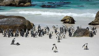 African penguins from the affected colony near Cape Town in South Africa.