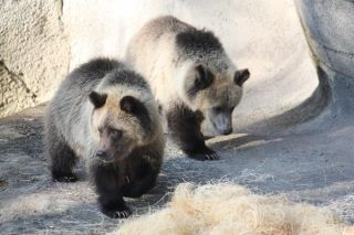grizzly-cubs-111004-02