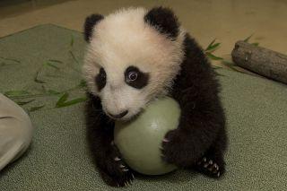 giant panda cub, cute baby animals