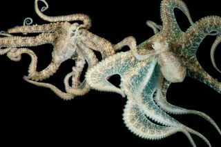 It takes many neurons to change the color and skin texture of these two octopuses (<em>Abdopus aculeatus</em>), seen here mating.