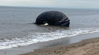 The bloated carcass of a dead humpback whale washed up on a Staten Island shore on Sept. 17.