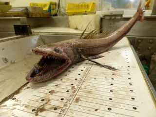 This deep-sea lizard fish (<em>Bathysaurus ferox</em>) was found at a depth of TK (200 meters) on the continental slope off the west coast of Scotland.