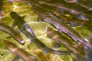salmon, fish hatcheries, fish intelligence