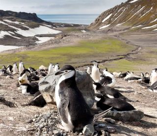 Chinstrap penguins at Baily Head on Antarctica's Deception Island.