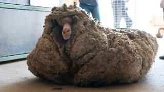Nicknamed Baarack, the rescued sheep had a densely matted coat that grew unchecked for years.