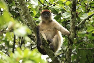 Red Colobus monkey in Uganda