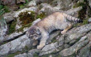 cat-pallas-2-110919-02