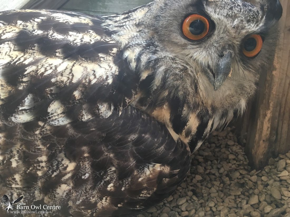 Handlers Thought This Owl Was Male for 23 Years —Then He Laid an Egg