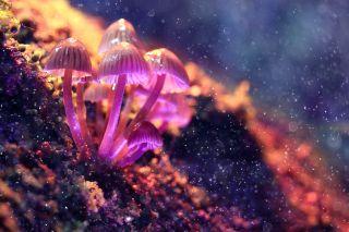 Mushrooms containing psilocybin.