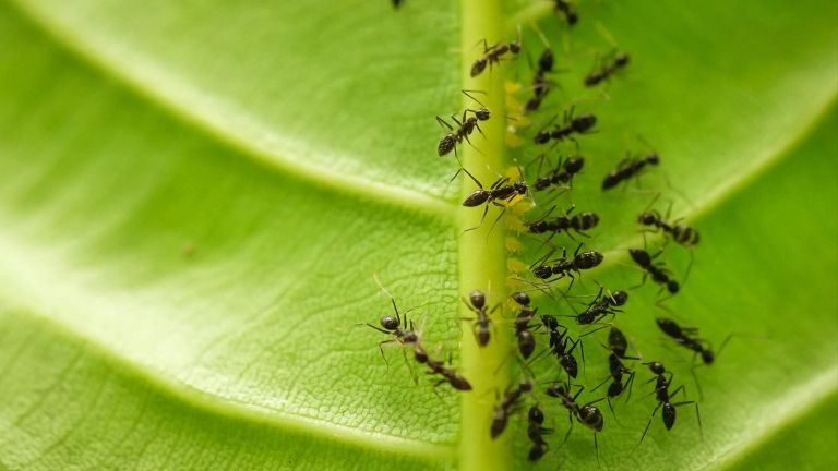 how to get rid of ants from garden on leaf