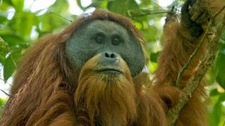 The face of a Tapanuli orangutan that is sitting in a tree