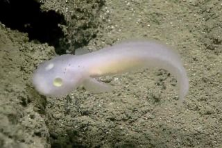 Scientists spotted this ghostly fish in the deep waters of the Marianas Trench Marine National Monument, making it the first time anyone has seen a fish in the family Aphyonidae alive.