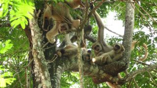 Muriqui monkeys living in RPPN Feliciano Miguel Abdala, a federally protected reserve in Brazil.