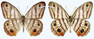 The newly discovered Attenborough butterfly.