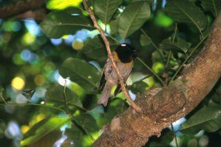 stitchbird-new-zealand-110203-02