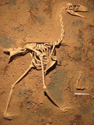 Terror bird fossil