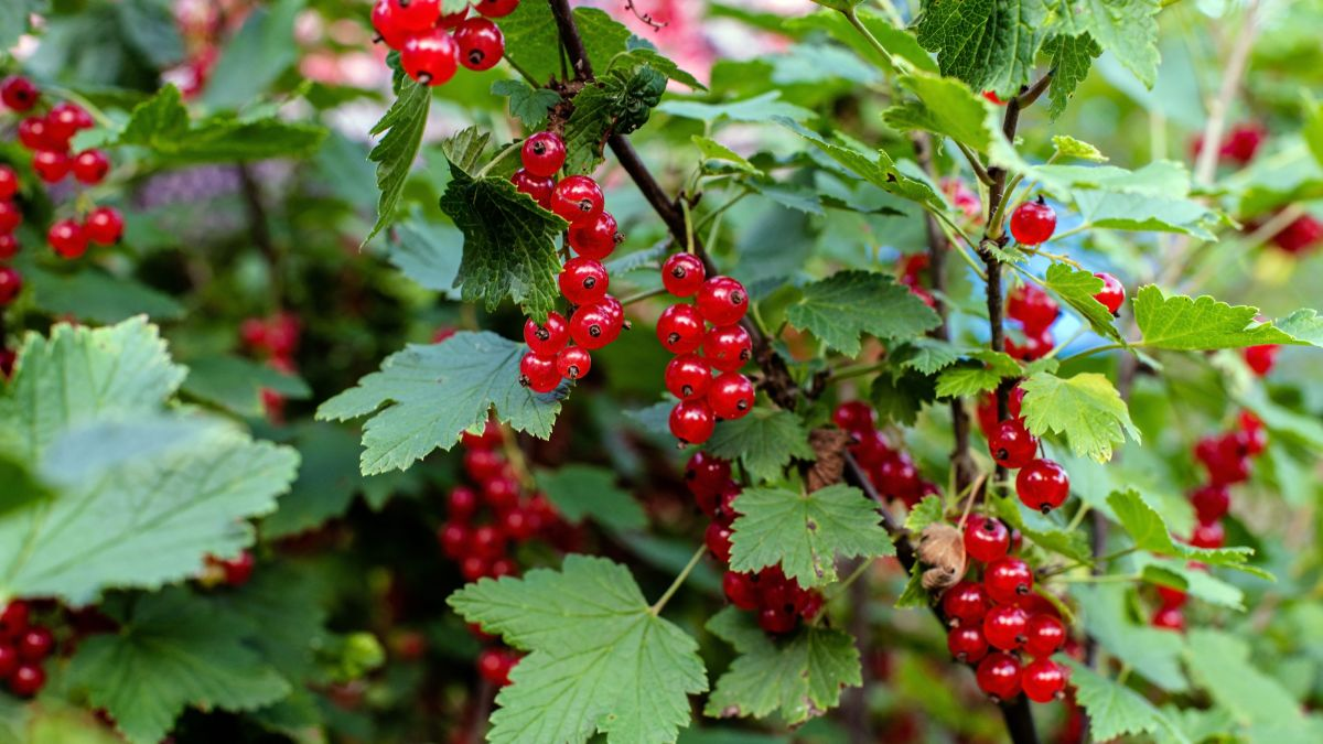 Is it illegal to grow currants in the United States? Everything you need to know about the 'forbidden fruit'