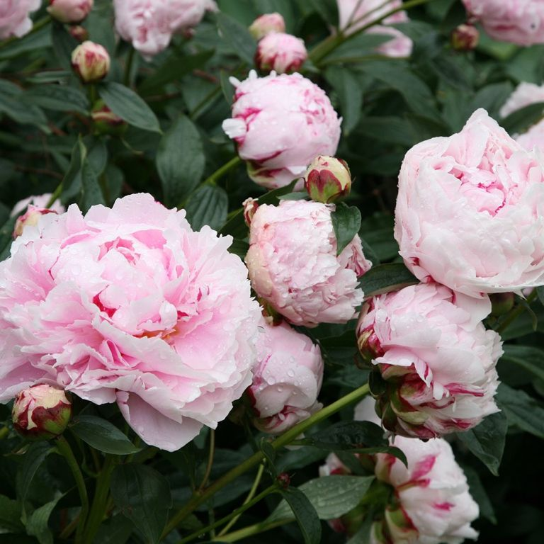 Peonies are the most Instagrammable flower of 2019