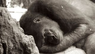 gorilla, sleeping, stress-response, behavior