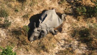 Some of the elephants were seen walking in circles before collapsing face-first into the earth in Botswana.