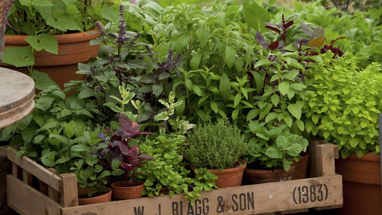 how to grow basil, in tray with other herbs