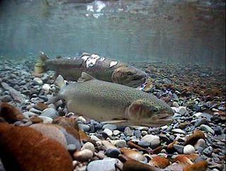 Oregon steelhead spawning.