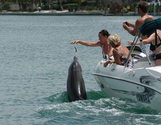 Illegal feeding of bottlenose dolphin.