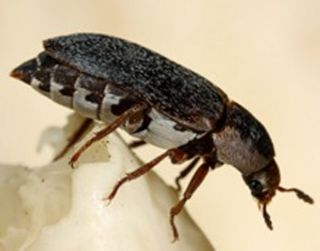 Young virgin female hide beetles (<em>Dermestes maculatus</em>) are attracted to cadavers by a combination of cadaver odor and male sex pheromones.