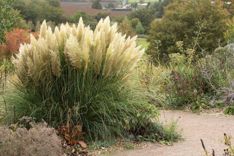 growing ornamental grasses