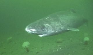 A screengrab of a Greenland sleeper shark.
