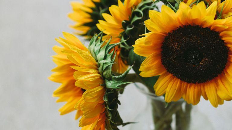 sunflowers care