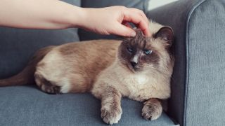 Do cats hold grudges? Grumpy cat sat on couch being petted by owner