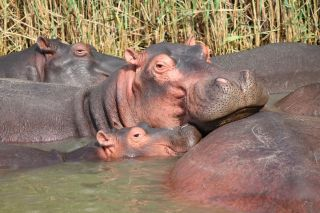 Family of hippos on a lake.