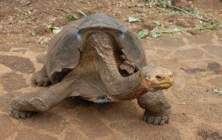 diego-tortoise