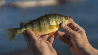 How to catch yellow perch